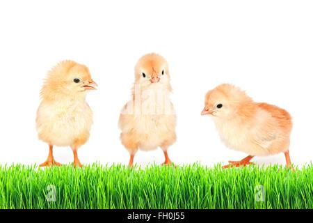 kleines Huhn auf dem grünen Rasen, isoliert - Stockfoto