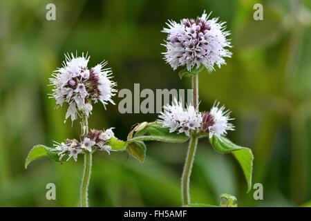 wasser minze mentha aquatica lamiaceae stockfoto bild 48812884 alamy. Black Bedroom Furniture Sets. Home Design Ideas
