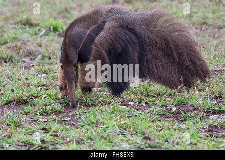 Gigantische Ameisenbär (Myrmecophaga Tridactyla) auf Nahrungssuche und Fütterung in Termite Mound, Mato Grosso, - Stockfoto