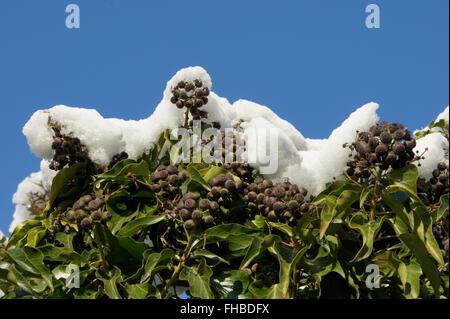 Hedera Helix, Efeu, Früchte mit Schnee Stockfoto