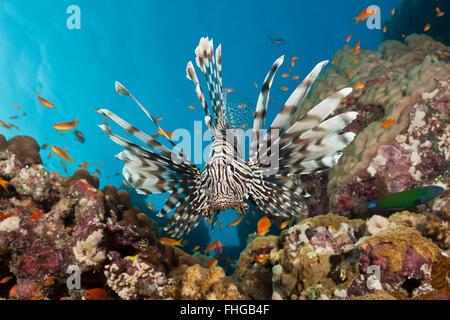 Feuerfische, Pterois Miles, Rotes Meer, Dahab, Ägypten - Stockfoto