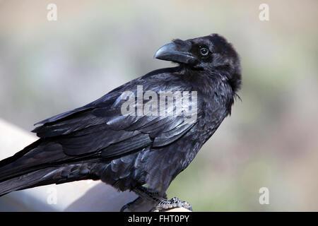 Kolkrabe (Corvus Corax), ab, Kanarische Inseln, Spanien. - Stockfoto