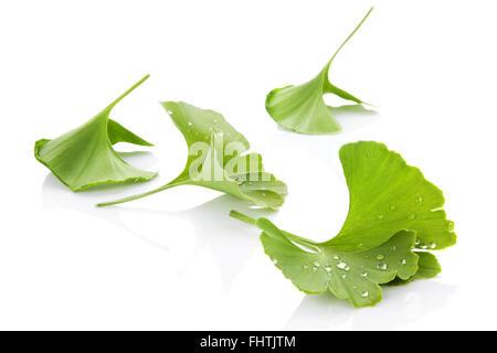 Ginkgo Blätter. - Stockfoto