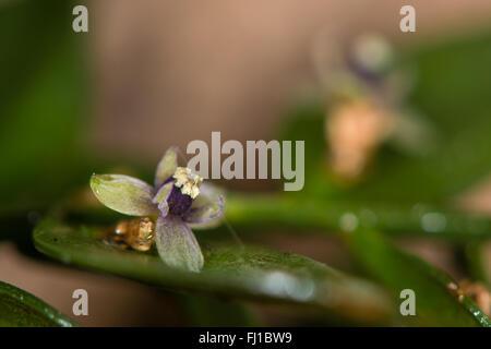 Metzgerei-Besen (Ruscus Aculeatus) in Blüte. Schuppenblätter von diesem niedrigen immergrüner Strauch in der Asparagas - Stockfoto