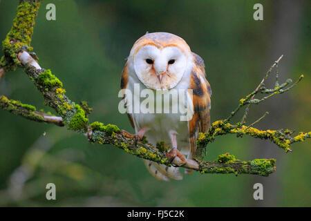 Schleiereule (Tyto Alba), sitzt auf einem Ast, Deutschland - Stockfoto
