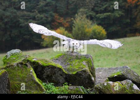 Schnee-Eule (Strix Scandiaca, Nyctea Scandiaca, Bubo Scandiacus), fliegen - Stockfoto