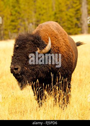 Amerikanischer Bison, Büffel (Bison Bison), Bull, Hayden Valley, Yellowstone-Nationalpark, Wyoming, USA - Stockfoto