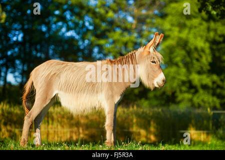 Inländische Esel (Equus Asinus Asinus), stehend auf einer Wiese, Deutschland - Stockfoto