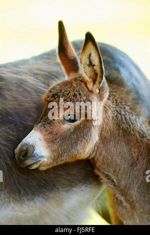 Inländische Esel (Equus Asinus Asinus), Esel-Fohlen, stehend, von seiner Mutter, Porträt, Deutschland - Stockfoto