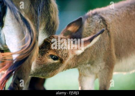 Inländische Esel (Equus Asinus Asinus), Esel Fohlen trinken durch die Mutter, Deutschland - Stockfoto
