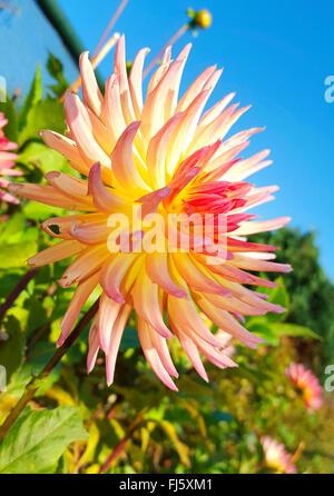 Georgina (Dahlia spec.), ein Kaktus-Dahlien blühen - Stockfoto