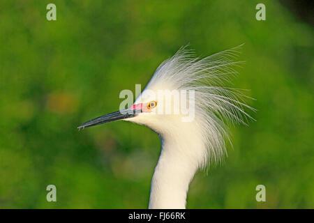 Snowy Silberreiher (Egretta unaufger), Portrait in der Zucht Gefieder, USA, Florida, Gatorland - Stockfoto