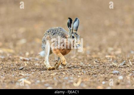 Feldhase, Feldhasen (Lepus Europaeus), braune Hasen gehen auf Acre, Österreich, Burgenland - Stockfoto