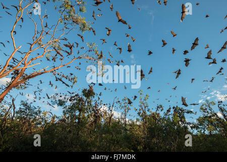 Kleine rote Flughund (Pteropus Scapulatus) Füchse Schlafplatz auf im inland weißen Mahagoni, Eukalyptus-Bäume und - Stockfoto