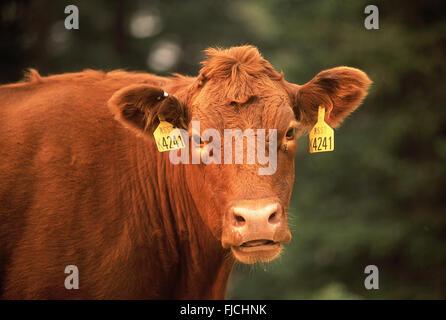 Babe, Montana, USA. Ohrmarken sind auf einem Vieh innerhalb einer großen Herde verwendet, um das Eigentum und die - Stockfoto