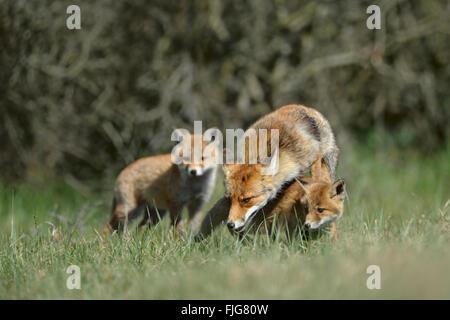 Rote Füchse / Rotfuechse (Vulpes Vulpes), Füchsin mit zwei jungen, Fuchsfamilie spielt zusammen auf der Wiese vor - Stockfoto