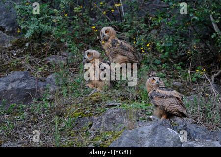 Nördlichen Uhu (Bubo Bubo), niedlichen Küken, Geschwister, sitzt in einem alten Steinbruch, Tierwelt, Deutschland - Stockfoto