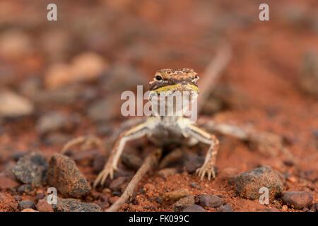 Militärische Drachen (Ctenophorus Isolepis Gularis) im Outback Uluru - Stockfoto