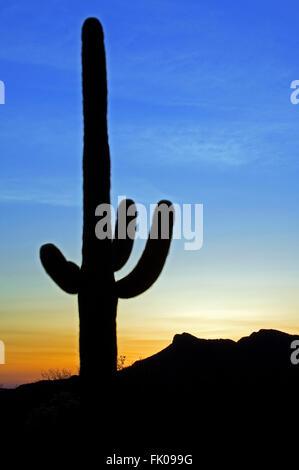 Saguaro Kaktus (Carnegiea Gigantea / Cereus Giganteus) Silhouette gegen Sonnenuntergang in der Sonoran Wüste, Arizona, - Stockfoto