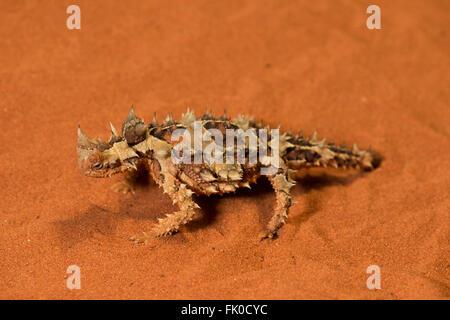 Dornige Drachen oder dornige Teufel in Gefangenschaft im Alice Springs Desert Park.  Die dornigen Drache oder thorny - Stockfoto