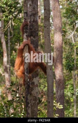 Bornean Orang-Utans (Pongo Pygmaeus Wurmbii) - juvenile. - Stockfoto