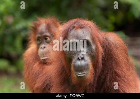 Bornean Orang-Utans (Pongo Pygmaeus Wurmbii) - Mutter und Kind - Stockfoto