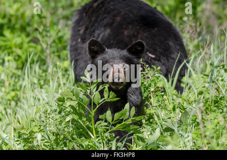 Ein Jährling Black Bear Cub peering Out von der Vegetation durch Akamina Parkway in Waterton Lakes Nationalpark, - Stockfoto