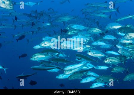 Schulzeit Chevron Barrakudas (größten Qenie) und Großaugenthun Makrelen (Caranx Sexfasciatus) mischen - Stockfoto