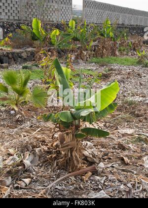 Hartnäckige Bananenpflanze sprießen neu in einem sonst verlassenen Plantage in Teneriffa-Kanarische Inseln-Spanien - Stockfoto