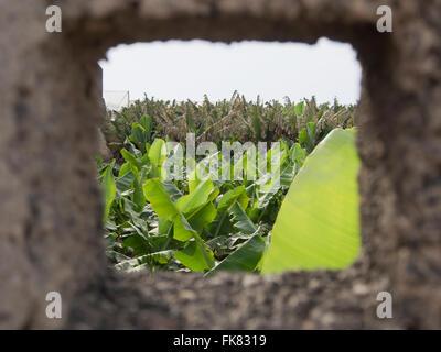 Bananenplantage in Teneriffa Kanaren Spanien, gesehen durch ein Quadrat öffnen in den Betonwänden umgeben - Stockfoto