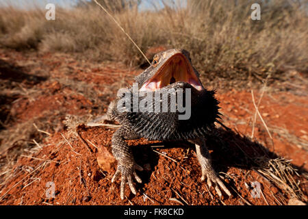 Zentralen Bearded Dragon (Pogona Vitticeps). Der Central (oder im Landesinneren) Bearded Dragon ist eine Art der - Stockfoto