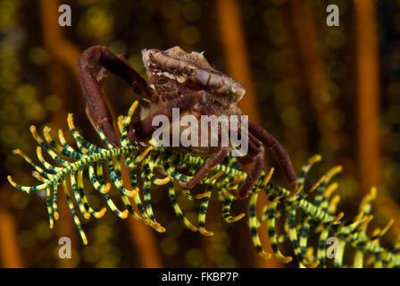 Krabbe auf eine crinoid - Stockfoto