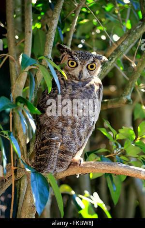 Große gehörnte Eule, Erwachsene auf Baum-Warnung / (Bubo Virginianus) - Stockfoto