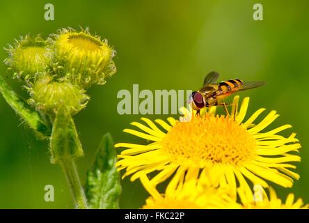 Ein Hoverfly thront auf einer Blume - Stockfoto