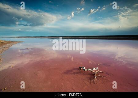 der Rosa Lagune am Port Gregory, West-Australien - Stockfoto