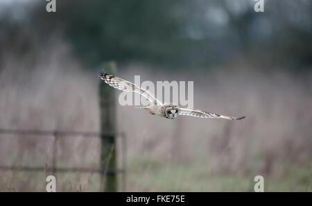 Sumpfohreule, Asio Flammeus, einziger Vogel im Flug, Worcestershire, Januar 2016 - Stockfoto