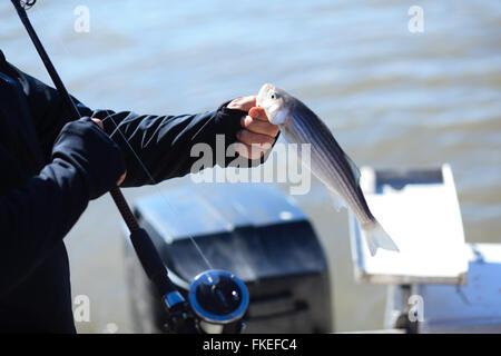 Fischer hält einen gestreiften Baß fing auf dem Hudson River - Stockfoto
