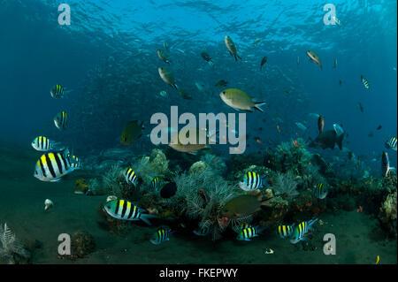 Eine Vielzahl von Riff und Riffbarsche Fisch gibt es rund um das Korallenriff mit Schulbildung Großaugenthun Makrelen - Stockfoto