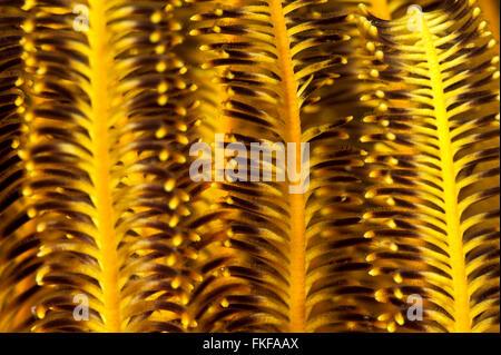 Details einer Crinoid oder Featherstar. - Stockfoto