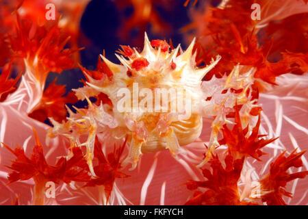 Weiche Korallen Krabbe oder Candy-Krabbe, Hoplophrys Oatesii. Weibchen mit Eiern. - Stockfoto