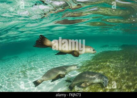 Australische Seelöwen (Neophoca Cinerea) Unterwasser - Stockfoto