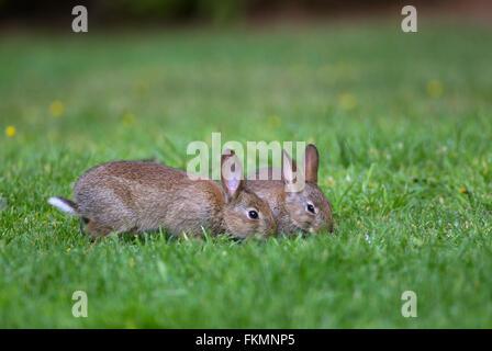 Europäische Kaninchen oder gemeinsame Kaninchen (Oryctolagus Cunniculus), zwei junge Fütterung auf eine Wiese im - Stockfoto
