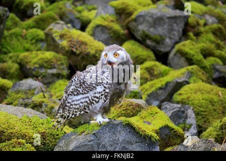 Schneeeule, Jungvogel, Skandinavien, Europa / (Nyctea Scandiaca) - Stockfoto