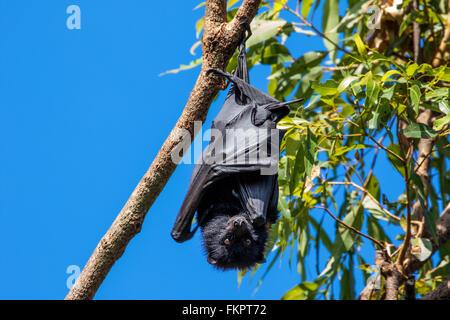 Flughunde (Flying Fox) Schlafplatz in Redcliffe Botanic Gardens, Queensland, Australien - Stockfoto