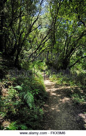 Moos bedeckten Zweige in den Parque Nacional de Garajonay Wäldern, La Gomera, Kanarische Inseln, Spanien. - Stockfoto