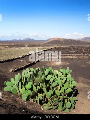 Großen Kaktus in das Weinanbaugebiet La Geria im Süden von Lanzarote, Kanarische Inseln, Spanien. - Stockfoto