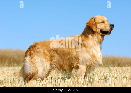 Golden Retriever (Canis Lupus Familiaris) - Stockfoto