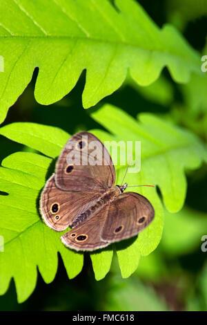 Kleine Holz Satyr Schmetterling Flügel öffnen ruht auf einem hellen grünen Farn Blatt in Wald Lebensraum. Stockfoto