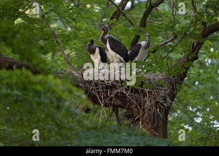 Schwarzstörche / Schwarzstoerche (Ciconia Nigra), Nachwuchs im Nest, nisten hoch oben in einer alten Buche, Essen - Stockfoto