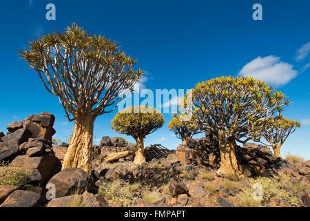 Köcher Bäume (Aloe Dichotomie) in Blüte, Köcherbaumwald, Keetmanshoop, Karas Region, Namibia - Stockfoto